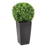 Buxus + black Kubis pot